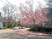 flowering magnolia in neighborhood