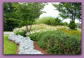 daisies at Leisure World Md
