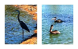 egret and pelicans in a pond