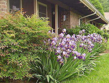 purple iris and nandina